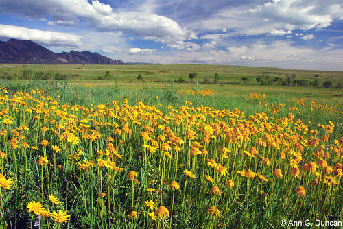 Photo - Orange Arnica meadow, Southern Grasslands Habitat Conservation Area.