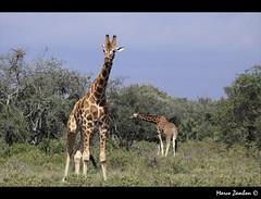 (bon__007) Tags: africa kenya safari giraffe savannah kenia nakuru giraffa savana rothschildsgiraffe giraffacamelopardalisrothschildi nakurulake lagonakuru giraffadirothschild