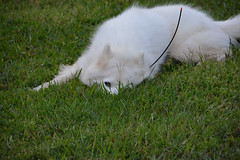 """Chase Is Trying To Hide In The Grass • <a style=""""font-size:0.8em;"""" href=""""http://www.flickr.com/photos/96196263@N07/9867897603/"""" target=""""_blank"""">View on Flickr</a>"""