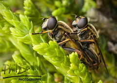 Together (Phil Benton Photos) Tags: macro green closeup eyes insects together mating