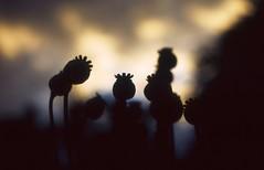 Poppies at sunset (hvrthe) Tags: autumn sunset fall analog garden fuji olympus slidefilm velvia poppy poppies fujifilm analogue fujichrome zuiko om2 50iso mohn diafilm velvia50 schlafmohn olympusom2n om2n analogefotografie analoguephotography epsonv500