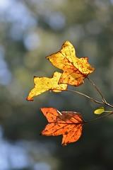 ~ kissed by the sun ~ (pontla) Tags: autumn orange fall leaves sunshine yellow foglie gold leaf giallo foglia autunno oro aranciano