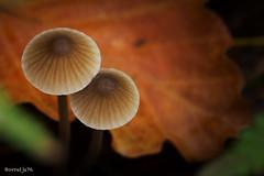 You & Me  . . (Borretje76) Tags: mushroom sony sigma fungi fungus 35 paddenstoel paddestoel paddestoelen a77 paddenstoelen 180mm sigma180mm35 sonyslta77 slta77v