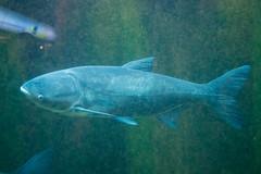 fish aquarium nikon carp nikkor shedd bighead sheddaquarium nobilis d4 nikond4 bigheadcarp 2470mmf28g hypophthalmichthysnobilis hypophthalmichthys