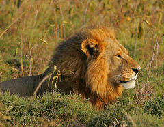 Welcome the dawn! (Rainbirder) Tags: kenya ngc npc africanlion lakenakuru pantheraleo rainbirder