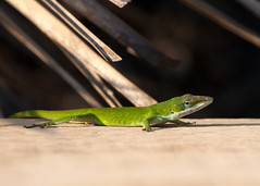 "Lizard on deck • <a style=""font-size:0.8em;"" href=""http://www.flickr.com/photos/30765416@N06/11393137746/"" target=""_blank"">View on Flickr</a>"