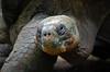 Galapagos Giant Tortoise Head