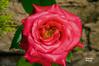 Velvety Garden Rose (Cherry Harrison) Tags: light red summer england flower colour macro green texture love rose yellow wall garden petals bush nikon close blossom outdoor velvet desire layers delicate tamron 90mm speedlight d90 mygearandme