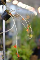 D60_2033 (Axelhouston) Tags: orchid samyang a99xel 1485mm