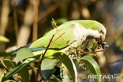 Myiopsitta Monachus (sokolskij) Tags: canon alien parrot parakeet invasive xeno 鹦鹉 papagai myiopsittamonachus 앵무새 kenko2x 30028 попугай canonef300mmf28lisusm ef300f28 1dmarkiv eos1dmarkiv eos1dmk4 pro300dgx