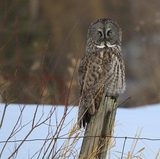 Great Gray Owl Morning