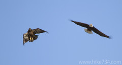 "Bald Eagles • <a style=""font-size:0.8em;"" href=""http://www.flickr.com/photos/63501323@N07/13129046484/"" target=""_blank"">View on Flickr</a>"