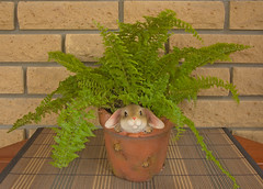 I'm here! (strannik9211) Tags: decorations red plant flower fern green nature yellow garden botanical leaf spring natural gardening background object fresh pot brickwall flowerpot agriculture sprout springtime woodentable arabbit