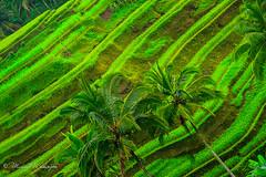 Terrace Angle (Sound Quality) Tags: travel trees bali color colour green canon garden indonesia landscape rainforest asia tour view rice terrace culture peaceful banana palmtrees jungle layers serene hue ubud riceterrace tegalalang tegallalang canon50d michaelwashington httpwwwflickrcomphotosmichaelwashingtonphotography