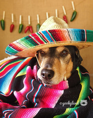 Happy 10! Project: Fiesta! (yookyland) Tags: dogs fiesta sombrero cincodemayo