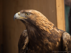 P5110650-105_1600px (Oliver Deisenroth) Tags: bird eagle medieval event mittelalter