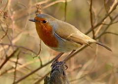 Robin (Feathers (Joe)) Tags: wild bird nature garden wildlife feathers hide care eastsussex salehurst