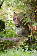 persian leopard (Cloudtail the Snow Leopard) Tags: animal cat mammal zoo persian big feline kln leopard katze koeln tier panthera pardus sugetier persischer groskatze raubkate