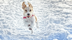 Run doggie, run! Jack Russell Terrier (Subdive) Tags: jackrussellterrier