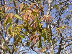Juglans regia (pelayobotanica - www.estepasyhayedos.es) Tags: spain plantas nogal aragn juglans juglansregia campodeborja floraibrica juglandceas caucedelahuechadesdebulbuentehastaalberite fanerfito