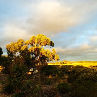Late afternoon. Gum tree.