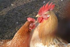 The Kiss (ivlys) Tags: bird nature cock henne hen darmstadt hahn oberfeld hofgut ivlys