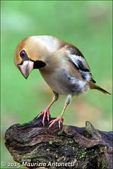 Frosone (Coccothraustes coccothraustes) (BlueMaury) Tags: birds italia uccelli toscana birdwatching coccothraustes abigfave passeriformi frosone parcodellapiana