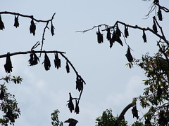 Bats hanging from the trees!