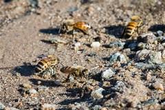 DSC_0912 (dennischap) Tags: arizona bee coloradoriver parker ahakhavtribalpreserve