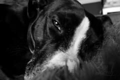 Nina. (Amy Zarah) Tags: dog white black eye animal amy bull terrier nina staffie staffordshire zarah