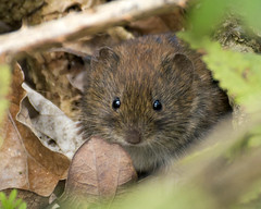 Hello little Vole (Mrs_Hadfield) Tags: cute nature nikon wildlife reserve vole rspb d600