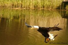 Amerikaanse Zeearend (timvanessen) Tags: den vogels american rijn aan avifauna alphen