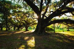 Morning Under the Oaks (michael.mu) Tags: leica morning backlight oak louisiana neworleans backlit citypark m240 colorefexpro superelmarm21mmf34asph