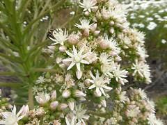 Aeonium pseudourbicum A. Bañares  (bejeque  puntero de Chío) (Linda DV) Tags: geotagged lindadevolder tenerife canaryislands canarias nature park geomapped 2016 panasonic teide volcano nationalpark aeonium crassulaceae ribbet