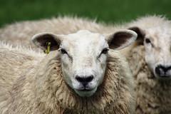 Sheep portrait (Dave Harwood) Tags: sussex countryside sheep farm farming ewe
