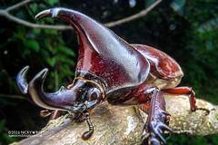 Rhinoceros beetle (Xylotrupes gideon) - DSC04252 (nickybay) Tags: macro gideon singapore beetle wideangle rhino rhinoceros scarabaeidae xylotrupes chestnutavenue dynastinae