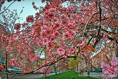 Prunus,Groningen stad ,the Netherlands,Europe (Aheroy(2Busy)) Tags: street pink tree vanishingpoint boom groningen bloesem hdr roze prunus bloem straat kersenbloesem groningenstad tonemapped verdwijnpunt aheroy aheroyal japansesierkers