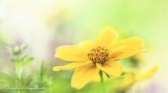 sweet Spring (frederic.gombert) Tags: flowers light summer sun flower macro yellow spring bokeh greatphotographers macrodreams