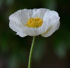 White Iceland Poppy (Papaver Nudicaule) (Alona Azaria) Tags: flowers white flores flower fleurs bokeh poppy fiori fiore papaver