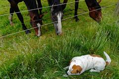 Mustangs and Wild Horses - 2016-0005_Web (berni.radke) Tags: horse pony mustang pferd nordrheinwestfalen colt wildhorse foal fohlen croy herde dlmen feralhorses wildpferdebahn merfelderbruch merfeld przewalskipferd wildpferd dlmenerwildpferd equusferus wildpferdefang dlmenerpferd dlmenpony herzogvoncroy wildhorsetrack