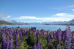 Lake Tekapo (EmC_Russell) Tags: travel newzealand lake mountains russell nz lupins tekapo