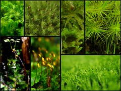 moss green (yoshinori.okazaki) Tags: macro green moss ngc koke