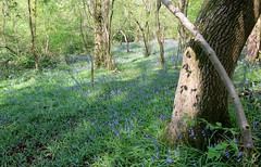 Bristol woods (elisecavicchi) Tags: uk shadow england sunlight tree green bluebells forest bristol spring woods day purple britain vibrant united great kingdom trunk naturesquare