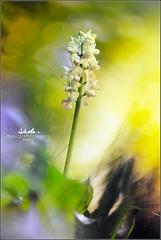 The golden forest (BlueMaury) Tags: bokeh natura fiore pianta orchidea allaperto profonditdicampo helios44258mm orchispallens