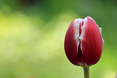 Minimalism (Unicorn.mod) Tags: red flower macro green colors yellow spring bokeh may tulip 2016 canon70300f456isusm canoneos6d