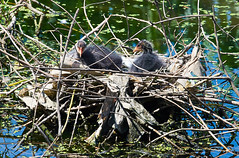 Coot chicks, Regent's Canal (pierre_et_nelly) Tags: fulicaatra fulica eurasiancoot commoncoot coot galeirão fotja focha gallareta folaghe blässhühner foulque chick young baby regentscanal london