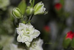 Very small white Delphinium (abrideu) Tags: flowers white plant flower macro bokeh ngc indoor depthoffield npc buds delphinium abrideu canoneos100d