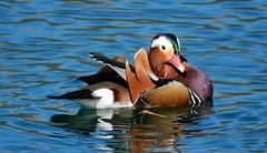 The Prince of Ducks Surely (mikecogh) Tags: beautiful pretty mandarinduck striking lakerotoiti starnaud