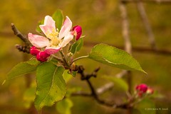 Spring Blossoms (Back Road Photography (Kevin W. Jerrell)) Tags: pink flowers nature spring blossoms blooms naturalbeauty prettyinpink appleblossoms nikond60 backroadphotography