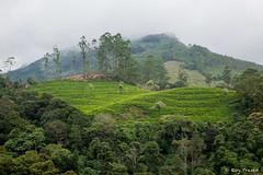 _DSC0981 (Roy Prasad) Tags: travel india workers tea harvest kerala hills prasad devan munnar kannan kannandevanhills royprasad